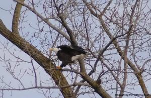 Ginny's eagle 3
